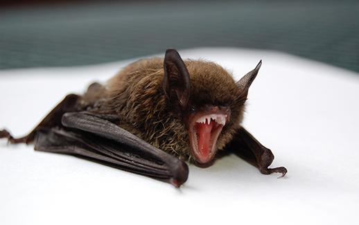 Dayton Bat Removal
